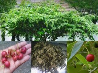 kandungan daun kersen