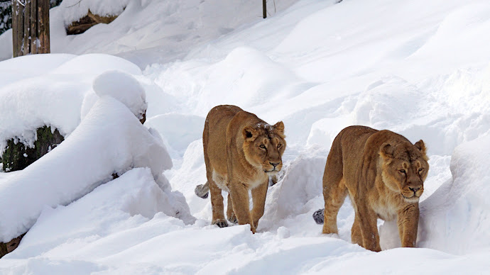 Wallpaper: Lionesses through Snow