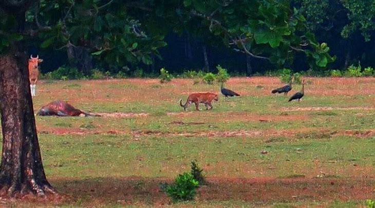 harimau jawa di savana cidaon ujung kulon