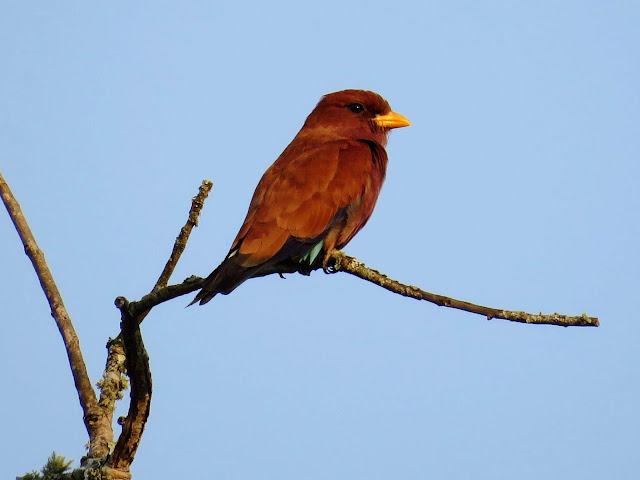 Broad-billed Roller in Uganda