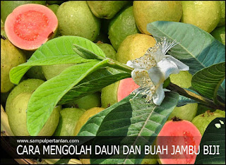 Cara MENGOLAH DAUN DAN BUAH JAMBU BIJI menjadi obat Diare