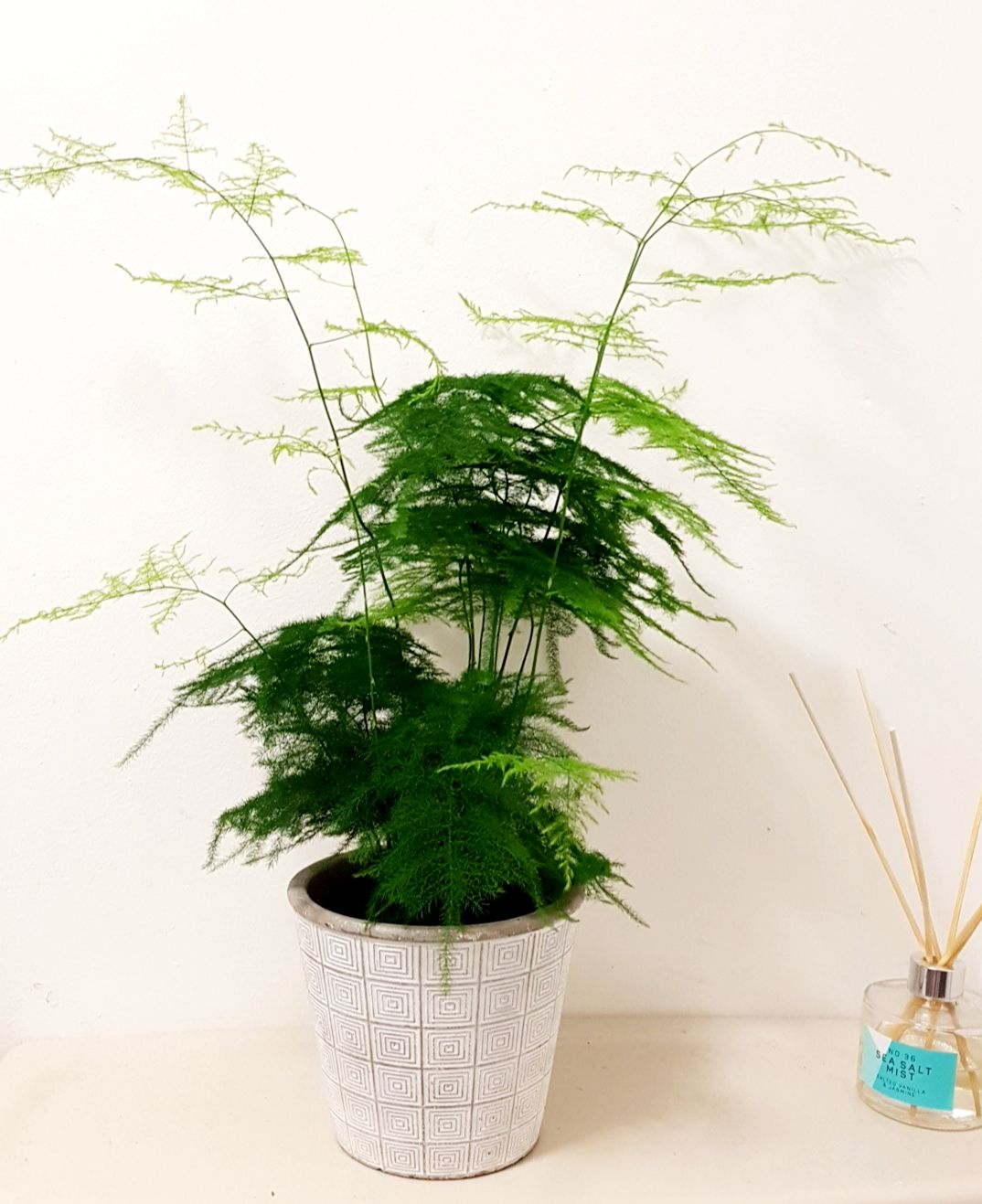 Bathroom asparagus fern