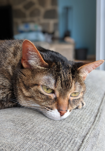 image of Sophie the Torbie Cat in close-up, lying on a chaise near a window, looking thoughtful