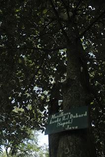 Tanaman sawo kecil ialah flora pohon yang sering kita jumpai berada disekitar kita Manfaat Tanaman Sawo Kecik (Manilkara Kauki L. Dubard)