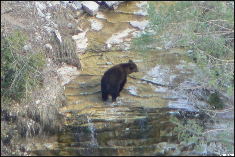 Oso en el cauce del Río Escabas (Rincón Del Buitre, El Hosquillo)