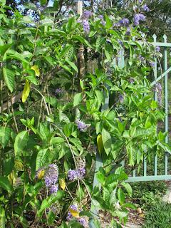 Purple queen's wreath flowers