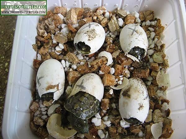 Ocadia sinensis saliendo del huevo
