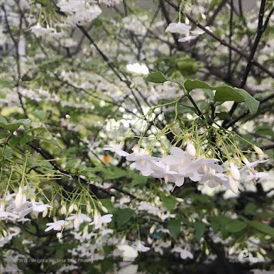 โมกพวง (Wrightia religiosa) ดอกโมกพวงขาว