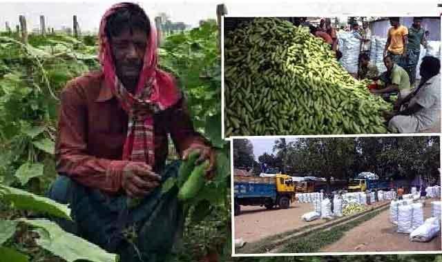 সাদুল্যাপুরে শশার বাম্পার ফলন বাজারে দামও ভালো