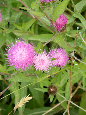 Spotted knapweed Centaurea biebersteinii at Skyline Trail Cape Breton Highlands National Park by garden muses-not another Toronto gardening blog