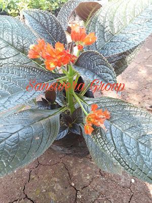 Tanaman Bunga Begonia