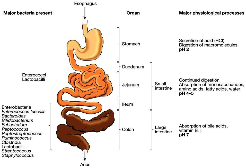 Escherichia coli is a bacterium that exists as different strains Some strains live in our gut and are very helpful Others cause foodborne illness and