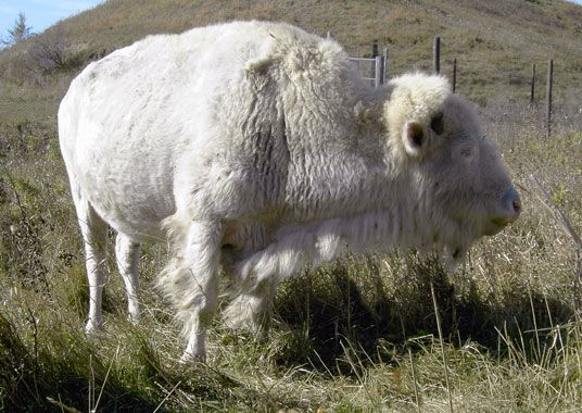 Bison | A-Z List of 125 Rare Albino Animals [Pics]
