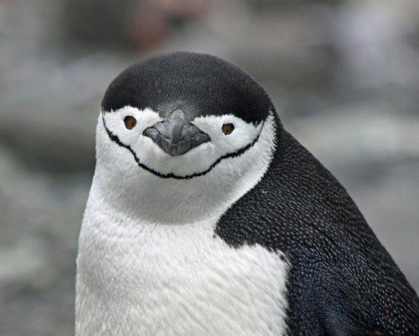 Fakta-fakta Menakjubkan Tentang Penguin yang Menarik Untuk Dibaca