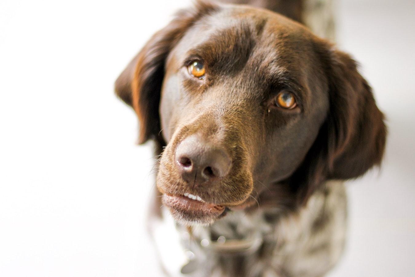 Dog Staring -