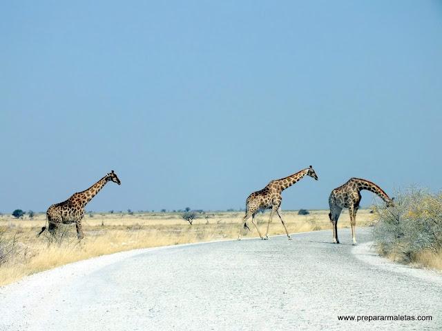 jirafas cruzando la carretera