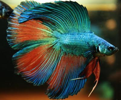 Ikan Cupang Cagak - Cara Budidaya Ikan Cupang