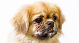 Everything about your Tibetan Spaniel