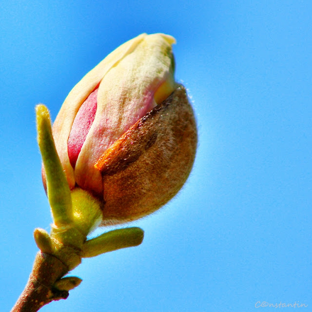 Flori de de primãvarã - înflorește dalia - blog FOTO-IDEEA