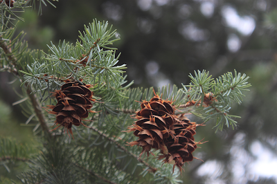 Photo of a pine tree branch with cones