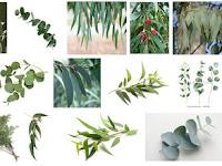 Fakta - Fakta menarik tentang Pohon kayu putih / Eucalyptus
