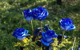 Gambar Bunga Mawar Biru Paling Cantik_Blue Roses Flower 200020