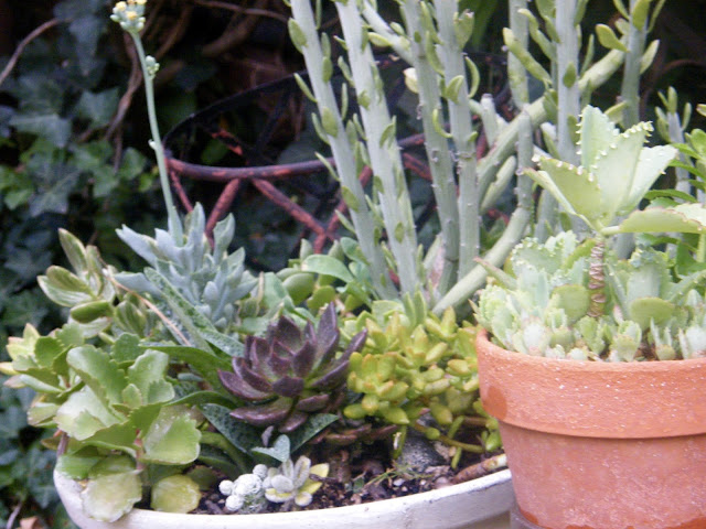 Pots of mixed succulents were moved to a less harsh environment.