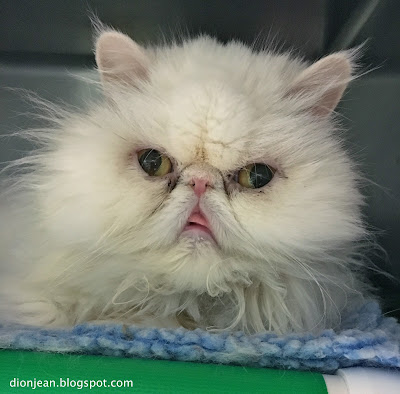 Spirit is a white Persian cat