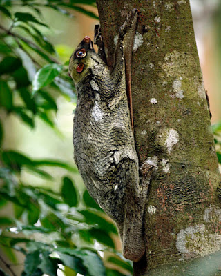 "Another evolution-defying and creation-affirming elusive jungle creature is the colugo. Mis-named the ""flying lemur"", it accumulates many air miles through its ability to glide among the trees."