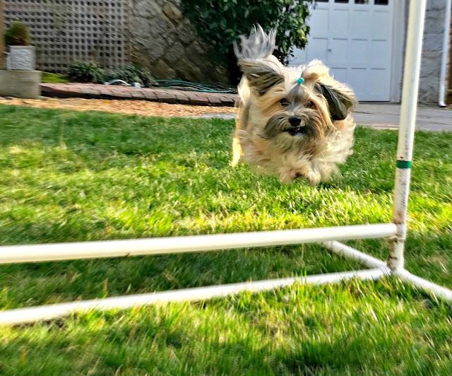 Backyard agility Rocco Havanese