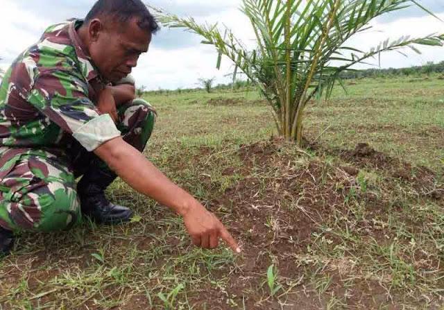 Serda R. Manik Terjun Kelapangan Untuk Melihat Pertkembangan Tanaman Jagung di Lahan Tumpang Sari PTPN II