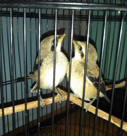 Burung Cendet Menjaga Kebersihan Sangkar Burung Cendet Yang Sangat Penting Penangkaran Burung Cendet