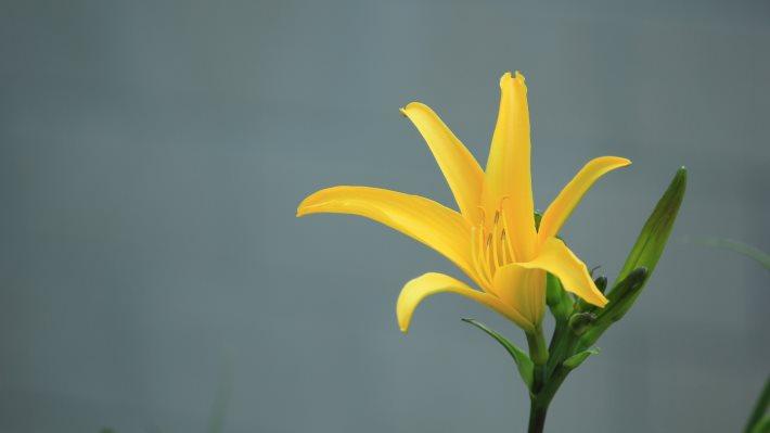 Wallpaper 2: Yellow Lily