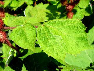 エビガライチゴの葉