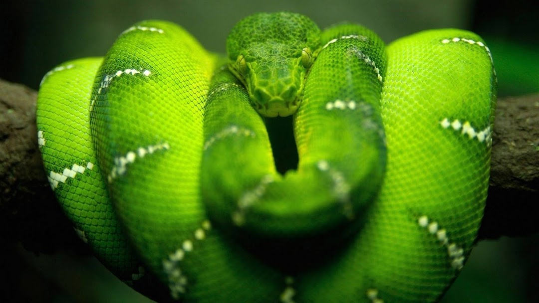 Green Snake HD Wallpaper 4