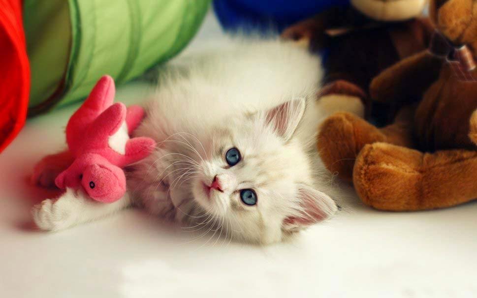 biru-mata-kucing-gambar-hd