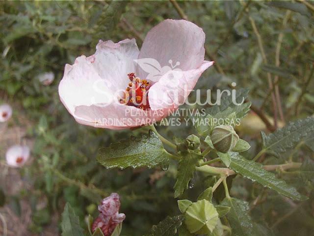 Pavonia hastata  Malva rosa