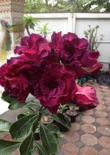 Gambar Bunga Adenium yang Unik dan Cantik 3