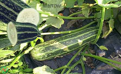 marrow vegetable; marrow