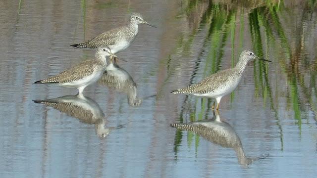 Short Billed Dowitcher, Raccoon and Kingfisher - Marsh Scenes