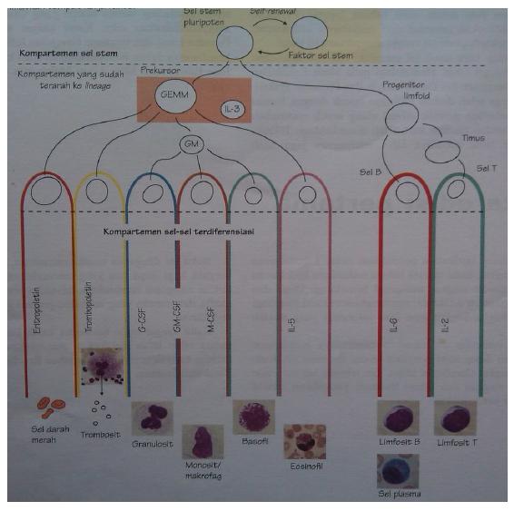 Gambar: Hematopoiesis (Hoffbrand V & Mehta A, 2006)