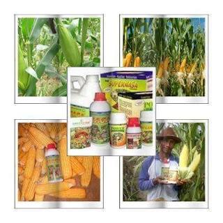 Budidaya Jagung Di Gorontalo Nenggunakan Pupuk Produk Nasa