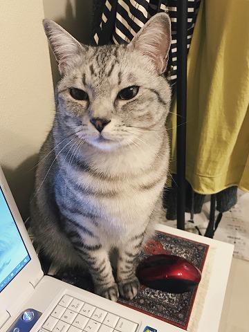 マウスパッドの上に座ってるサバトラ猫