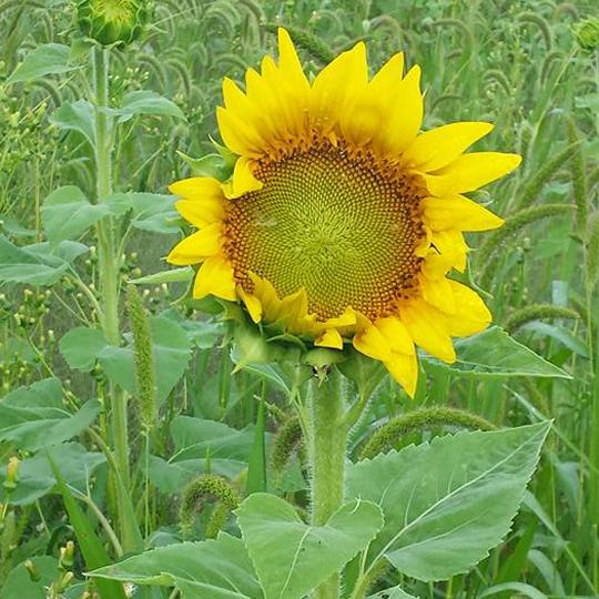 Mammouth sunflower stalk
