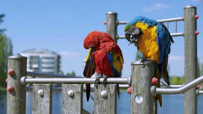 Wallpaper: Two Parrots