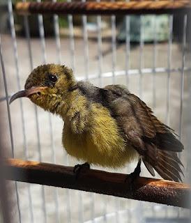 jemur kolibri