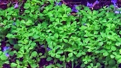 Fenugreek leaves and seeds have health benefits.