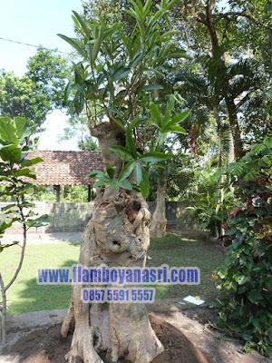Tukang Taman Surabaya Bonsai Pule