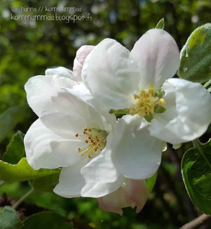 omenapuu ifolor kuvakirja