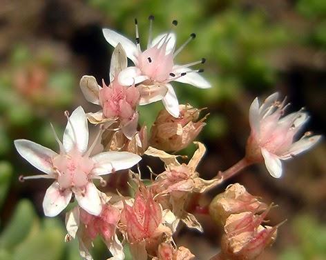 Vermicularia inglesa (Sedum anglicum)